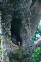 Knobbed Hornbill (Aceros cassidix) chick peering out from the nest cavity..Tangkoko Batuangus/Dua Saudara Nature Reserve, Sulawesi Island, Indonesia.