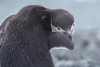 Chinstrap penguin, Pygoscelis antarcticus preening feathers on Half Moon Island in the South Shetland Islands, Antarctica.