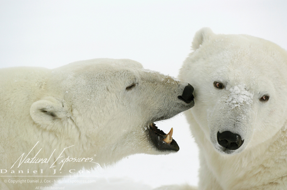 Polar Bear (Ursus maritimus) pair.  Cape Churchill, Manitoba, Canada