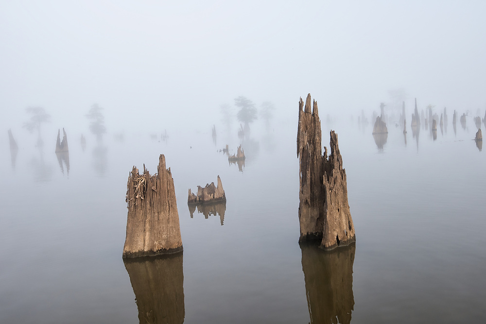 Cypress Stumps in Henderson Swamp Louisiana on a very foggy morning