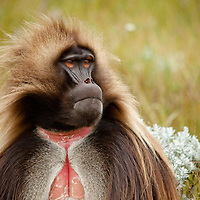 Male gelada baboon, Theropithecus gelada, on the Guassa Plateau, Ethiopia