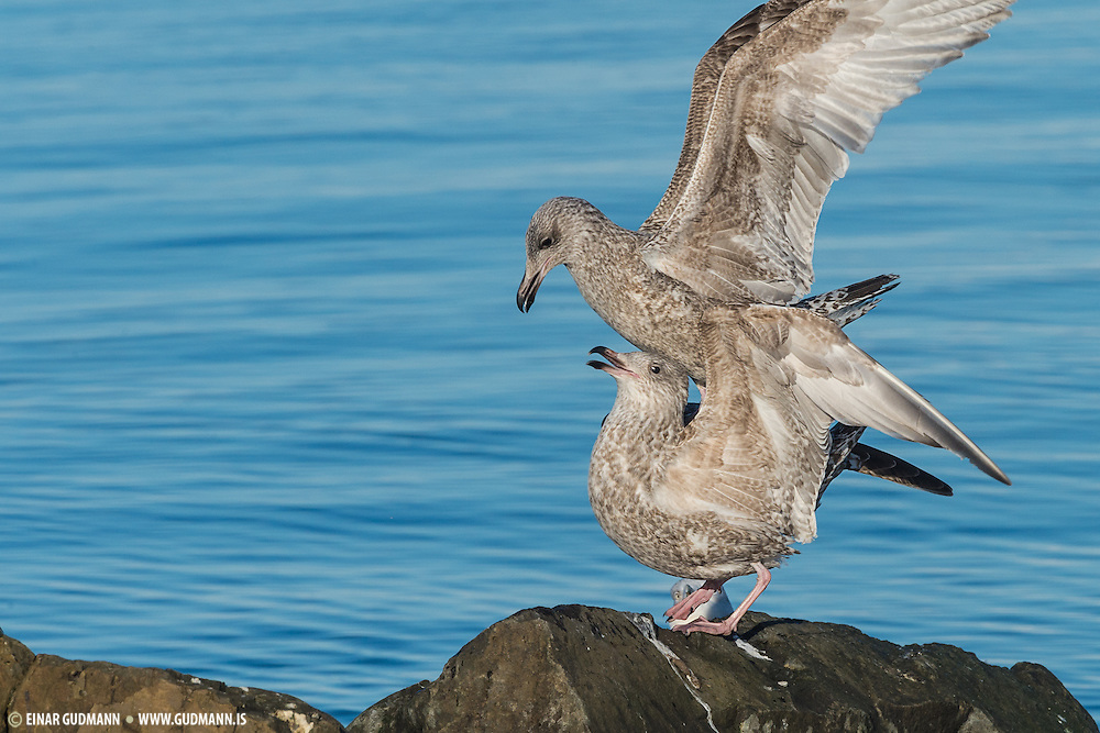 The Herring Gull, Larus argentatus, is a large gull (up to 26 inches or 66 cm long), and is the most abundant and best known of all gulls along the shores of Asia, western Europe, and North America.[1]  It breeds across North America, Europe and Asia.