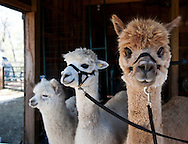 May 1, 2011 -  Alpacas wait to be sheared at Ice Pond Farms in Cranston, RI. ..