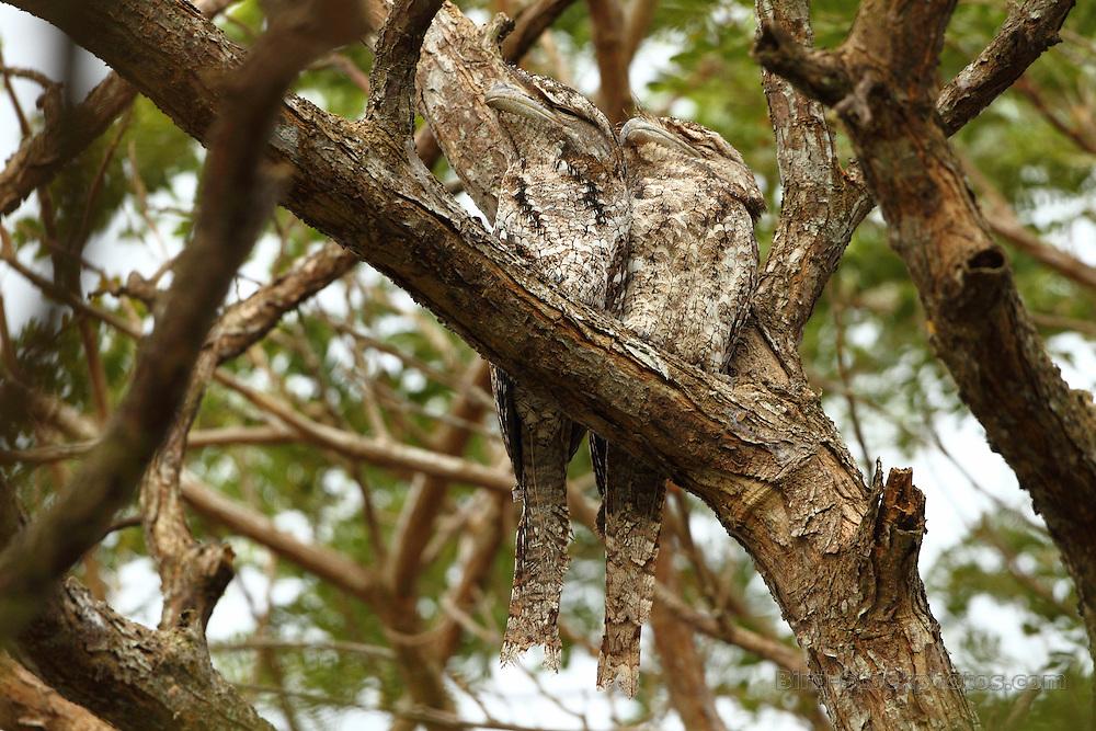 Papuan Frogmouth, Podargus papuensis, Papua New Guinea, by Markus Lilje