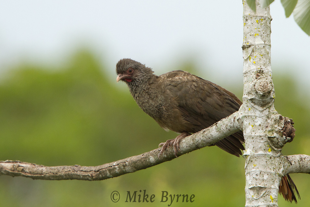 Chaco Chachalaca (Ortalis canicollis) perched in a tree at Araras Eco Lodge (Pantanal, Mato Grosso, Brazil)