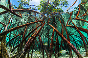 Juvenile schoolmaster snapper swim through the roots of a mangrove tree in the clear waters near Staniel Cay, Exuma, Bahamas