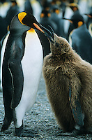 Penguin feeding chick
