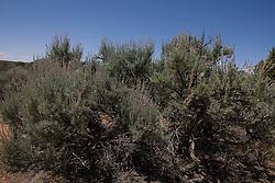 Big Sagebrush (Artemisia tridentata) a common North American desert shrub, Hovenweep National Monument, Colorado and Utah.