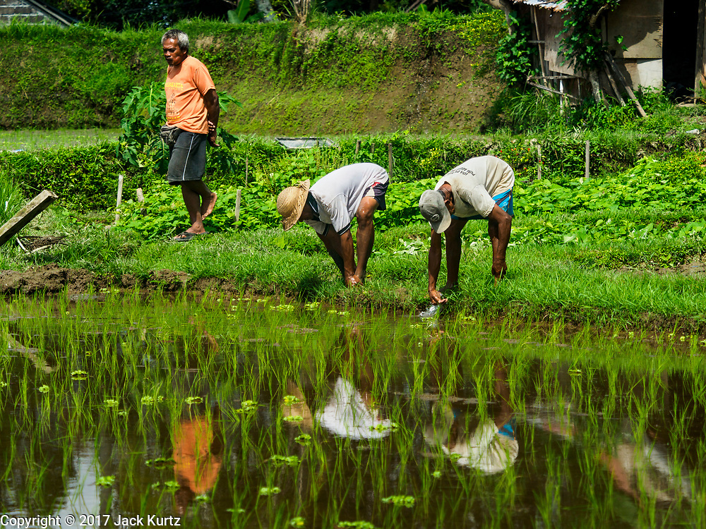 10 AUGUST 2017 - UBUD, BALI, INDONESIA: Men rinse their feet off in a rice paddy after transplanting young plants in a rice field about 1.5 kilometers from downtown Ubud. Rice is the most important crop grown on Bali and is important as a food source and a symbol of Balinese culture. In accordance with Balinese tradition, men transplant the young rice plants from nurseries to the fields and women harvest the rice when it matures.     PHOTO BY JACK KURTZ