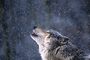 Portrait of a grey wolf (Canis lupus) howling in the snow. photographed in Washington State. Captive.