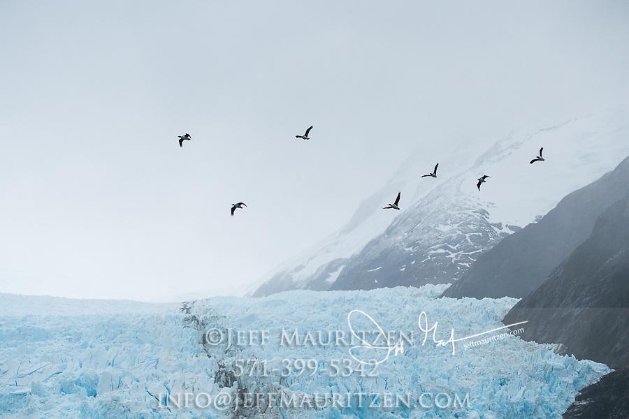 Imperial shags take flight over Garibaldi glacier in Parque Nacional Alberto de Agostini, Chile.