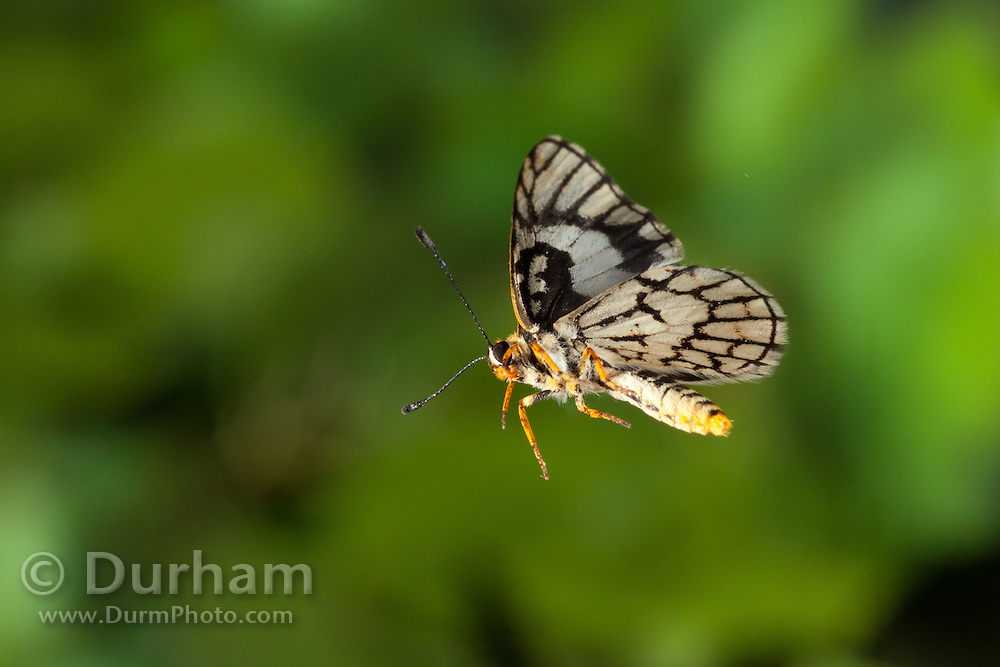 A small butterfly photographed by a high-speed camera in Matobo National Park, Zimbabwe. © Michael Durham / www.DurmPhoto.com.