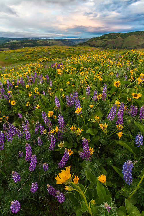 Yellow balsomroot and lupine wildflowers on Rowena Crest in the Columbia River Gorge on a cloudy Spring afternoon.