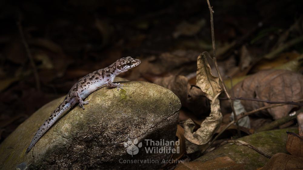Siamese Leaf-toed Gecko (Dixonius siamensis) in Chumphon, Thailand