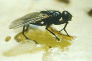 close up of a fly stuck to glue