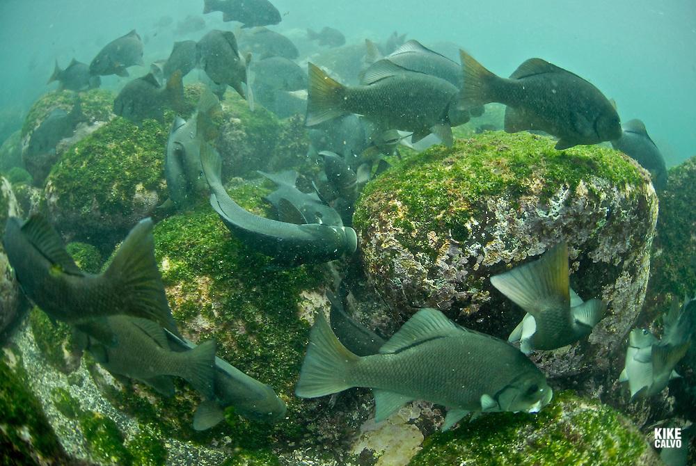 Dusky Chub ( Girella freminvilli ) Punta Moreno. Isabela Island. Galapagos.