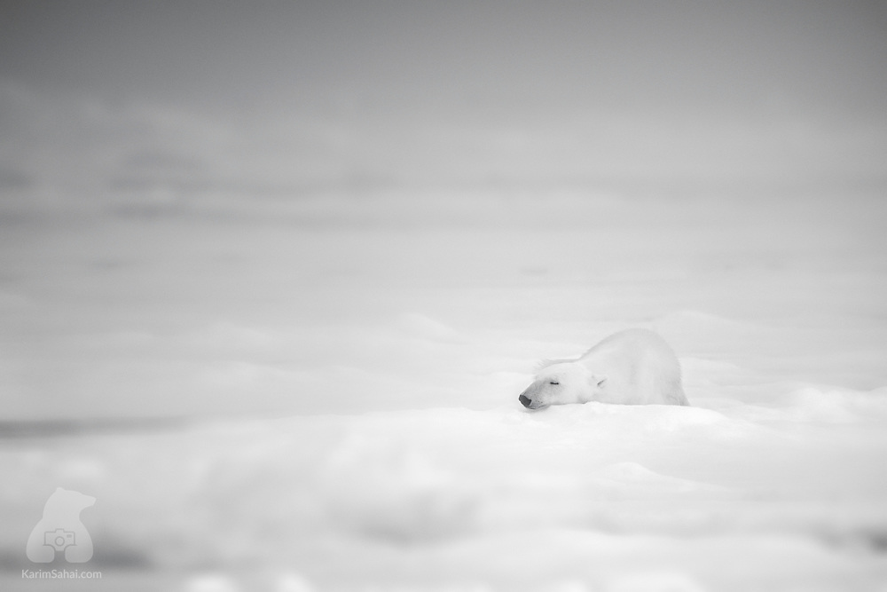An Arctic summer with sparser and thinner sea ice means polar bears have to travel further afield to find food (seals); or save as much energy as possible.