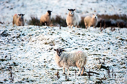 © Licensed to London News Pictures. 25/11/2017. Gearstones UK. Sheep in the snow along the Newby Head pass in Gearstones this morning after a night of snow fall in the Yorkshire Dales. Photo credit: Andrew McCaren/LNP