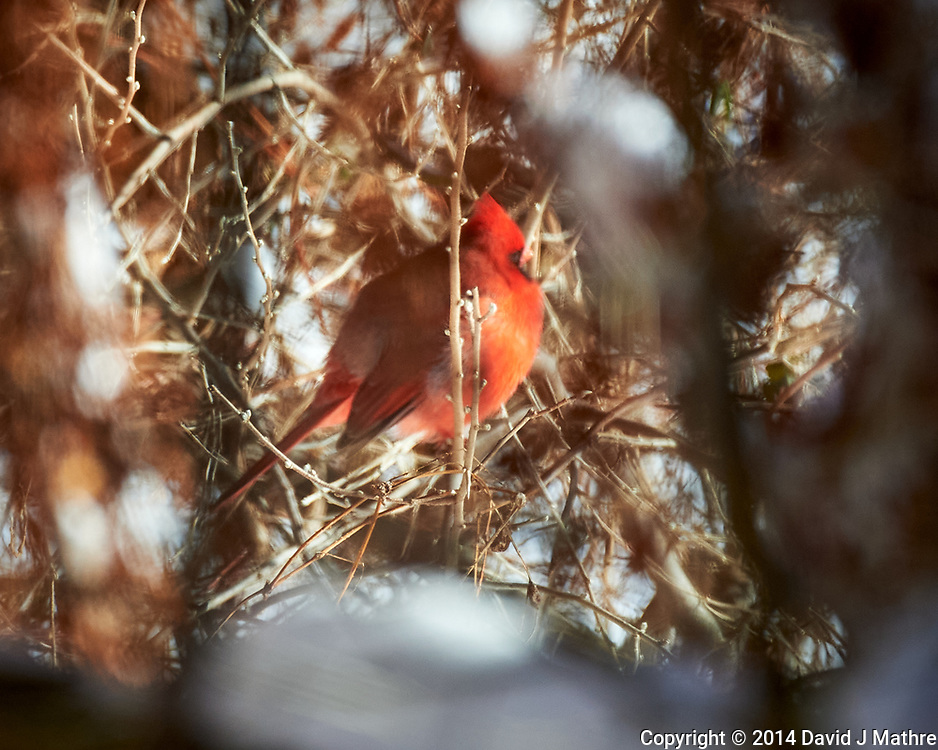 Northern Cardinal. Image taken with a Nikon D4 camera and 80-400 mm VR lens (ISO 800, 400 mm, f/5.6, 1/2000 sec)