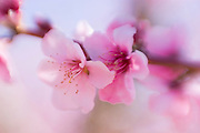 Apple blossoms, Antelope Valley, California