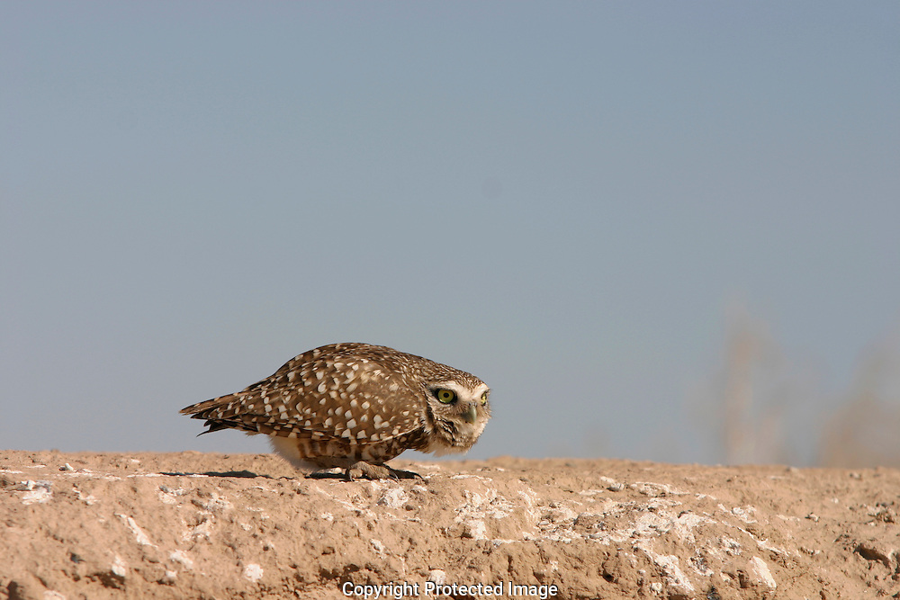 A Burrowing Owl is small with a short tail,long legs,they are brown and white with yellow eyes.They bob up and down when it is approached too close,then dives into it's hole.