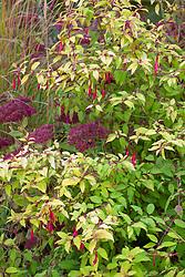 Fuchsia 'Genii' AGM