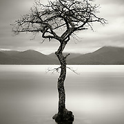 The tree, Millarochy bay, Loch Lomond
