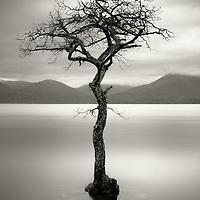 The tree, Millarochy bay, Loch Lomond