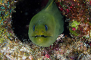 Green Moray (Gymnothorax funebris)<br /> BONAIRE, Netherlands Antilles, Caribbean<br /> HABITAT & DISTRIBUTION: Wide range of habitats from murky bays to clear coral reefs.<br /> Florida, Bahamas, Caribbean, Gulf of Mexico, north of Massechusetts, Bermuda & south to Brazil.