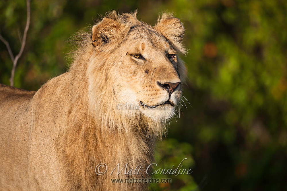 Subadult male bachelor lion part of a coalition of 3 to 4 bachelors who will join forces to improve their chance of survival in the Masai Mara National Reserve, Kenya, Africa (photo by Wildlife Photographer Matt Considine)