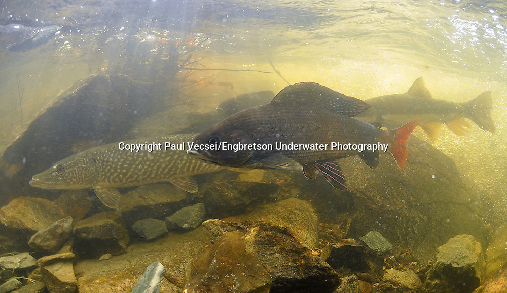 Arctic Grayling (with Northern Pike in Background)<br />