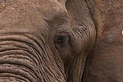 African Elephant portrait, Kruger, Africa