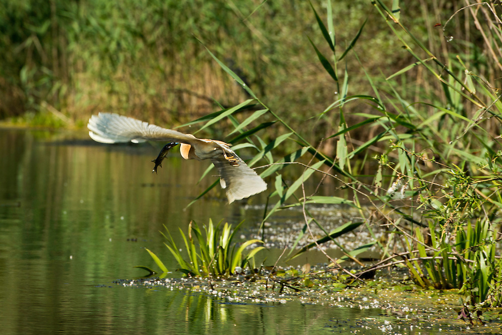 Squacco Heron (Ardeola ralloides) flying away with a small pike, Danube Delta, Romania.