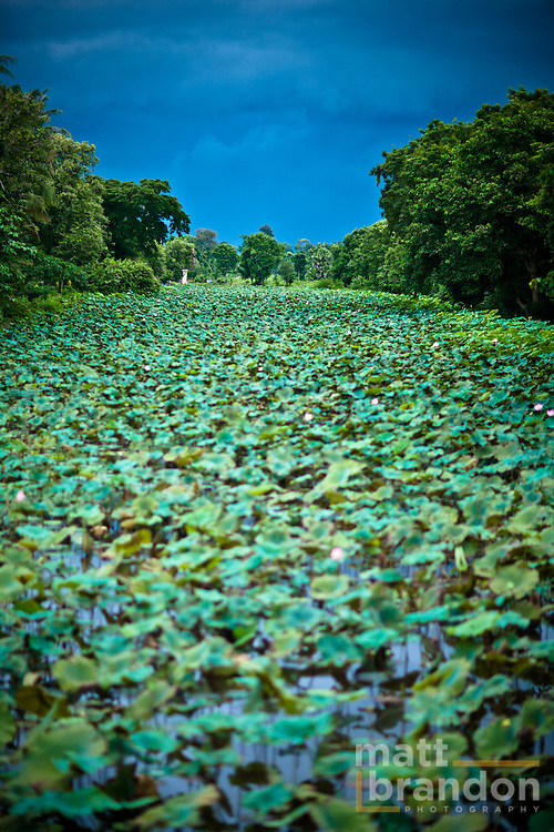 Storm clouds form over a pond filled with lotus  plants.