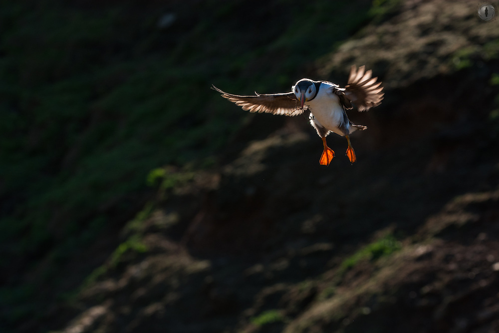 Puffin coming in to land with some nesting materials, backlit at sunset in Skomer, Wales.