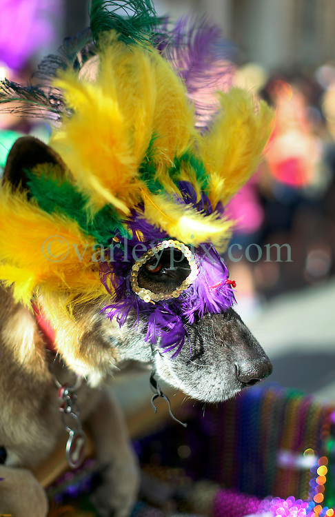 31 January 2016. New Orleans, Louisiana.<br /> Mardi Gras Dog Parade. German shepherd at he parade. The Mystic Krewe of Barkus winds its way around the French Quarter with dogs and their owners dressed up for this year's theme, 'From the Doghouse to the Whitehouse.' <br /> Photo©; Charlie Varley/varleypix.com