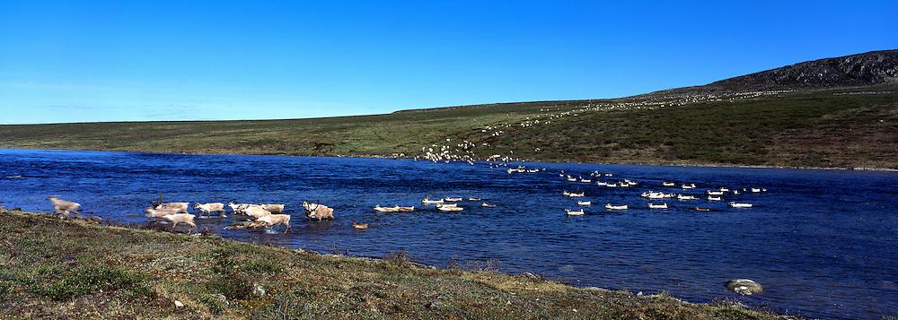 Bathurst caribou herd en migration, crossing Burnside R.,NWT,Canada