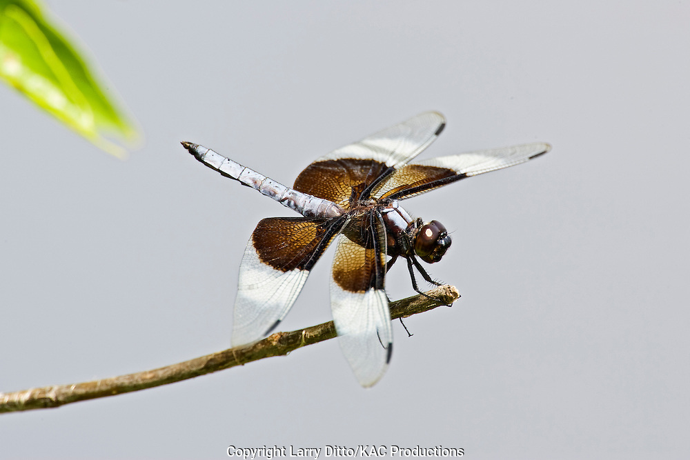 Widow Skimmer (Libellula luctuosa) dragonfly, male, June, Oklahoma dragonfly dragonfly