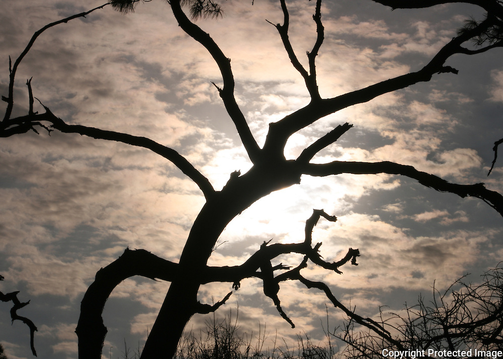 Dead tree silhouette Jekyll Island beach