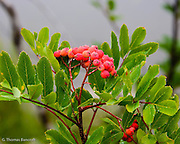 The rain and fog formed numerous water droplets on the fruit and leaves of this mountain ash.  The subtle and rich colors in the soft light made the plant standout against the fog in the background.