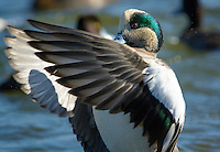 American widgeon drake duck, Choptank River, Chesapeake Bay, Cambridge, Maryland, USA