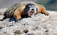 A marmot lets out a yawn while sunning itself at the top of Rendezvous Mountain, Jackson Hole, Wyoming.