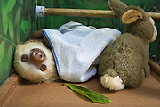 Hoffmann's Two-toed Sloth <br /> Choloepus hoffmanni<br /> Resident sloth sleeping in educational center<br /> Aviarios Sloth Sanctuary, Costa Rica<br /> *Rescued and in rehabilitation program