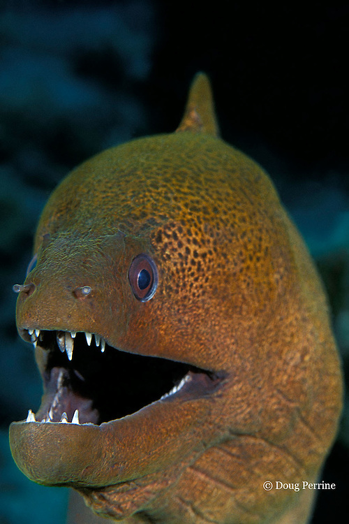 giant moray, Gymnothorax javanicus, The Cod Hole, Great Barrier Reef, Australia, ( Western Pacific Ocean )