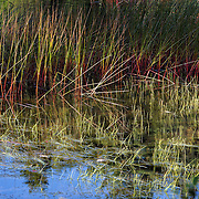 Reeds on Eagle Lake during fall foilage