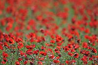 A field of poppy (Papaver rhoeas). Lesser Lake Prespa, Lake Prespa National Park, Albania June 2009