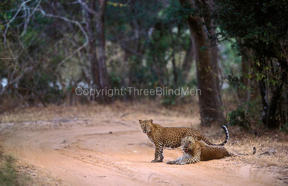 Courting leopards strike a sublime pose at twilight.Rakina wala,Yala National Park.