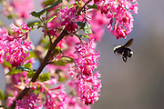 A bumblebee prepares to collect pollen and nectar from a flowering currant (Ribes sanguineum) that is blooming in Snohomish County, Washington.