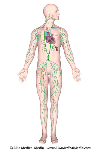 Human Lymphatic Diagram - Wiring Diagram Services •