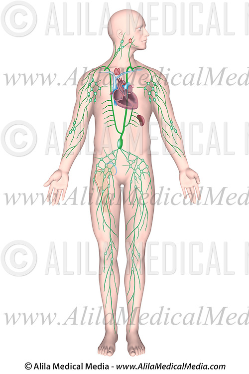 Labeled Diagram Of Human Lymphatic System Alila Medical Images